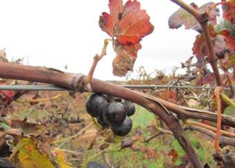 Wijn Druivenrank